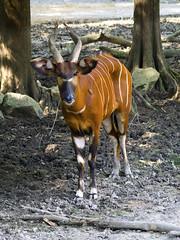 Memphis Zoo 08-31-2016 - Bongo 7