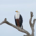 Small photo of African Fish Eagle (Haliaeetus vocifer)
