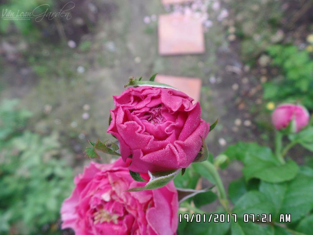 hoa hong cat canh kate rose (6)+vuonhongvanloan.com.JPG