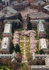 University of Washington, The Quad and Cherry Blossoms (2)