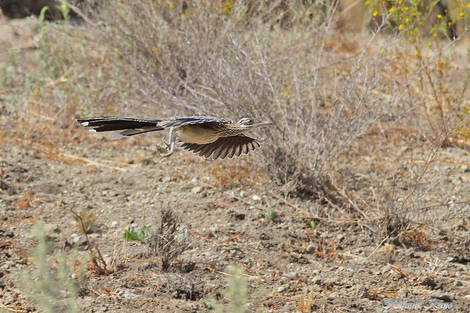 Greater Roadrunner 050513-07