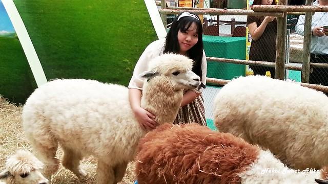Play with Alpaca @ Paradise Park
