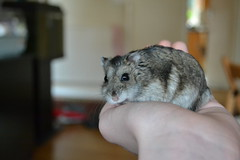 chinchilla(0.0), animal(1.0), rat(1.0), rodent(1.0), pet(1.0), mouse(1.0), hamster(1.0), fauna(1.0), degu(1.0), whiskers(1.0), pest(1.0), gerbil(1.0),