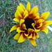 sunflower by elenamoon
