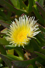 flower, yellow, plant, nature, macro photography, wildflower, flora, green, close-up, ice plant,