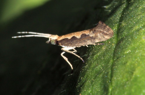 464 Diamond-back Moth 21434