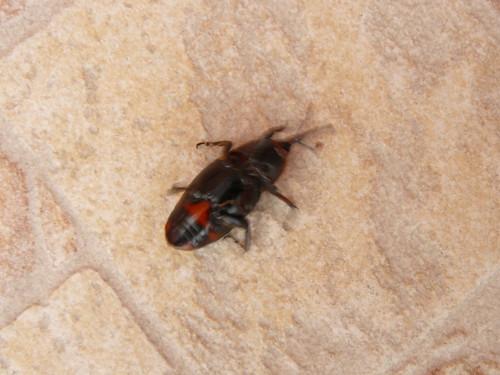 tombé sur le dos, non ce n'est pas un hanneton, avec ce rostre et ces antennes by Claudie K