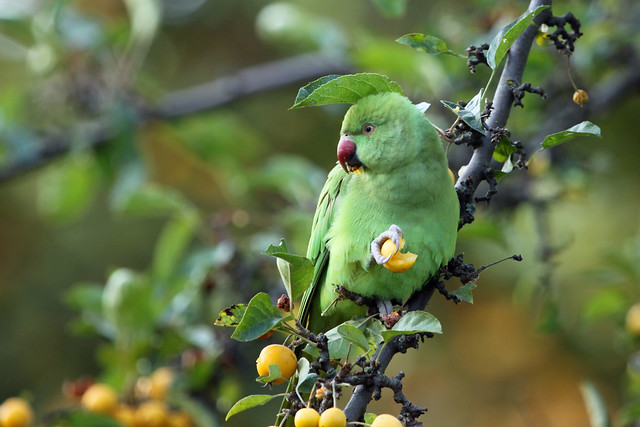 Greenwich Park parakeets
