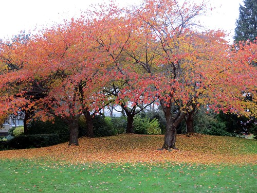 Cherry tree autumn grove