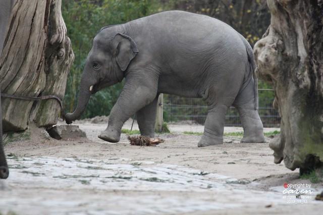 Asiatischer Elefantenjunge Ludwig 2013_11_13 452