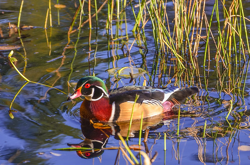 <p><i>Aix sponsa</i>, Anatidae<br /> Stanley Park, Vancouver, British Columbia, Canada<br /> Nikon D5100, 70-300 mm f/4.5-5.6<br /> November 14, 2013</p>