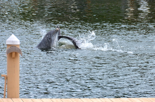 Dolphins playing together by our dock