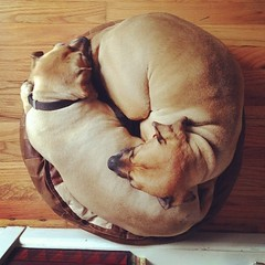 they have a bed with room enough for four dogs, but they prefer to cuddle on the tiny floor pouf from Lebanon #yinyang #puggles