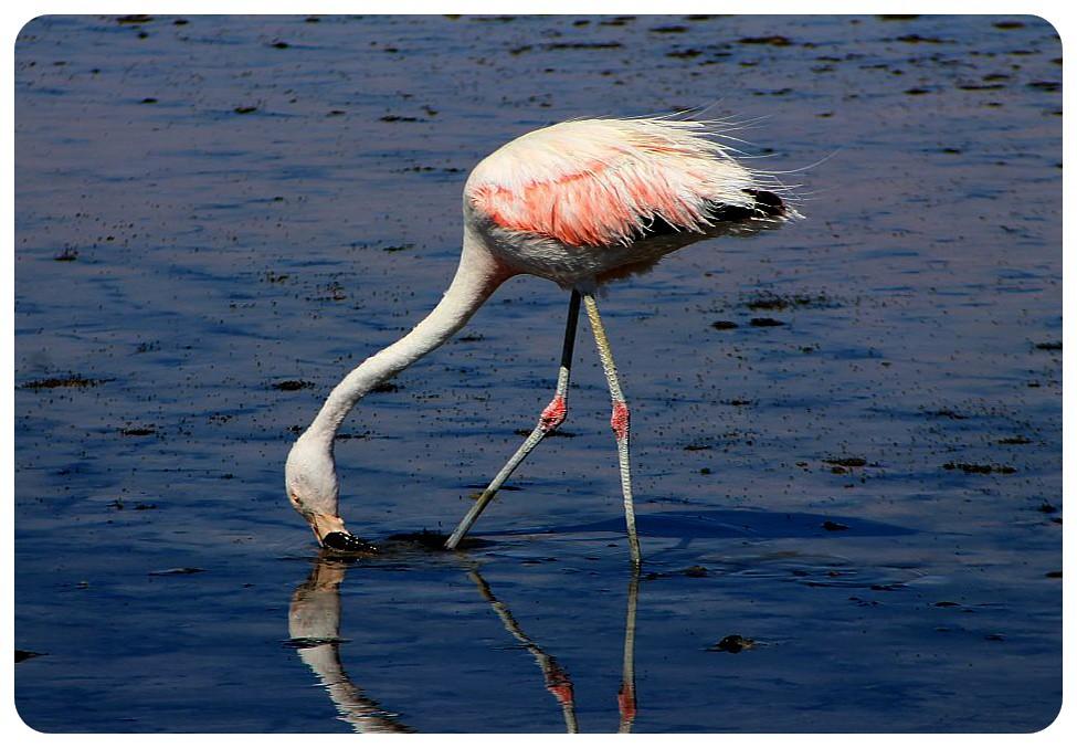 salar de atacama chile flamingo