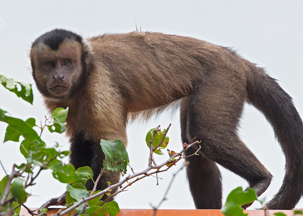 Brown Capuchin 2014-01-30