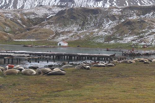 501 Zeeolifanten bij Grytviken