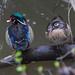 Small photo of Male & Female Wood Ducks (aix sponsa)