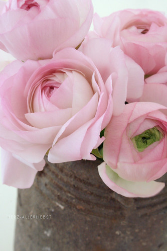 Rosa Ranunkeln