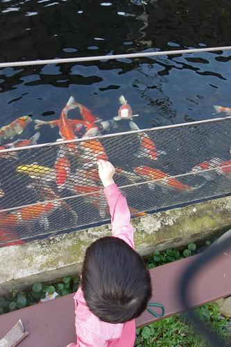 Feeding at the koi pond