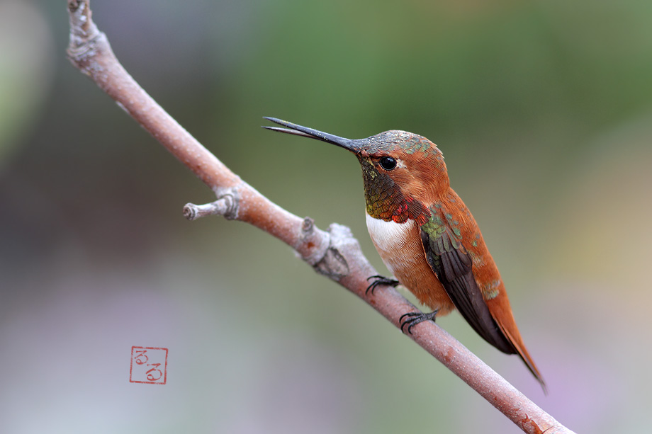 Rufous-Hummingbird-033114-3