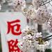 春の陽気にサクラサク - The cherry trees are in full blossom -
