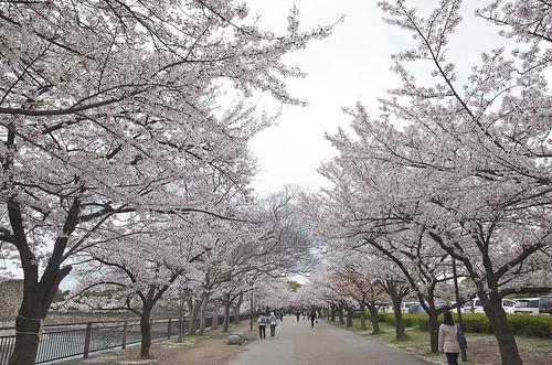 【写真】桜 : 大阪城公園