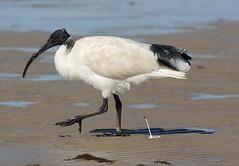 stork(0.0), white stork(0.0), stilt(0.0), animal(1.0), wing(1.0), fauna(1.0), ciconiiformes(1.0), shorebird(1.0), beak(1.0), ibis(1.0), bird(1.0), wildlife(1.0),