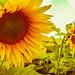 Sunflowers by Hasan Yuzeir