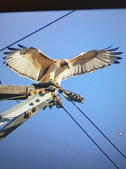 Red tail hawk neighbor