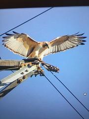 Red tail hawk neighbor