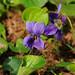 Sweet Violet - Viola odorata var odorata