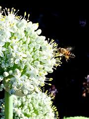 Honey Bee Foraging On Allium Flowers - Edible Passover White Onions <<>> IMG_0984 - Version 3