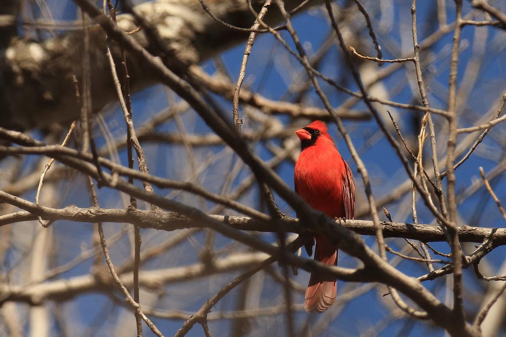 Male Cardinal_78aa