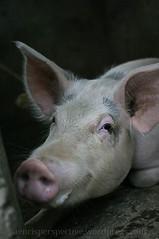 Mother Pig