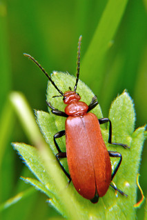 Red-headed Cardinal Beetle (Pyrochroa serraticornis )