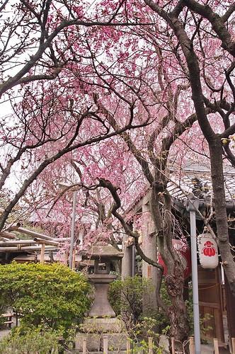 【写真】2013 桜 : 雨宝院/2021-09-19/IMGP9118