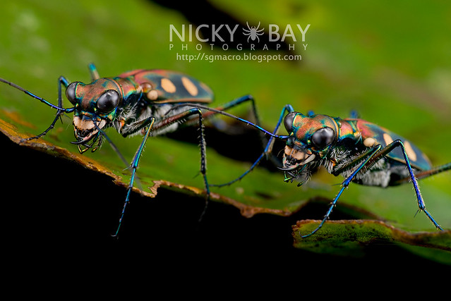 Tiger Beetles (Cicindelinae) - DSC_0792