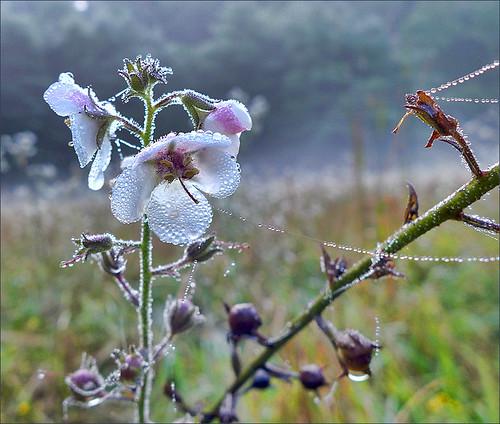 Moth Mullein Morning