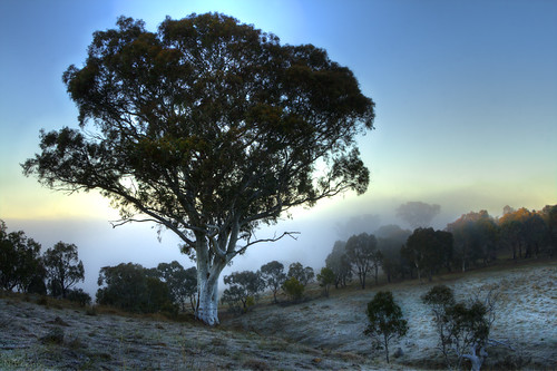 Scribbly gum (Eucalyptus rossii)
