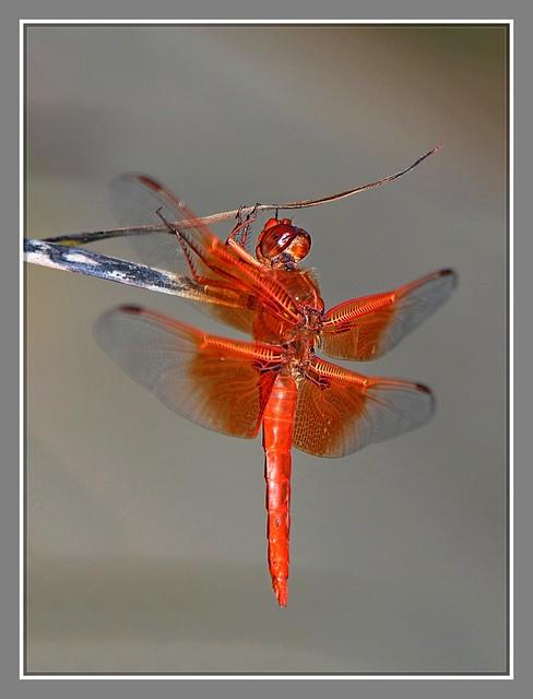 红蜻蜓_图1-3