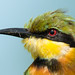 Head-shot of a little bee-eater by Dave Montreuil