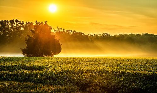 morning trees light field yellow fog sunrise golden early farm rays