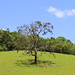 Árvore na pastagem
