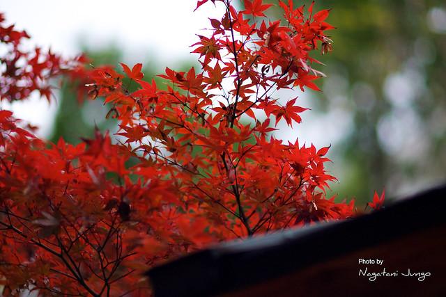 椿谷の紅葉 7