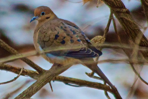 Beautiful Dove- Creve Coeur Park, St. Louis, Co.