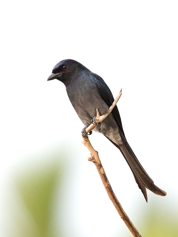 White Bellied Drongo Sri Lanka 2013