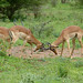 Small photo of Impalas (Aepyceros melampus) fighting