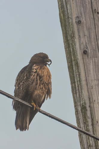 Red-tailed Hawk with Long-billed Hawk Syndrome
