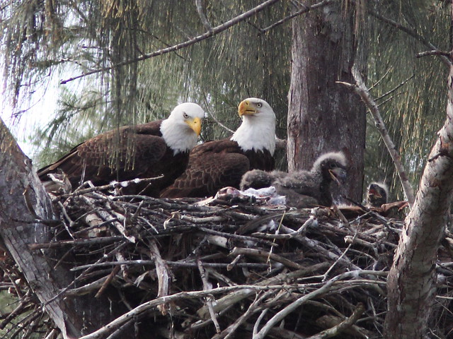 Bald Eagle family 20140205