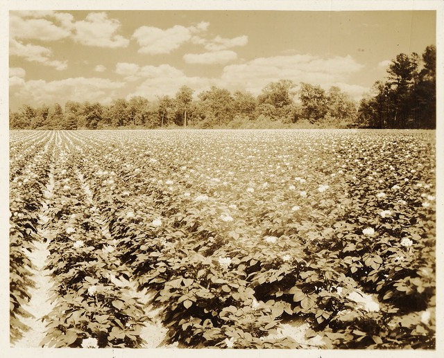 Potatoes were a popular crop on the Eastern Shore